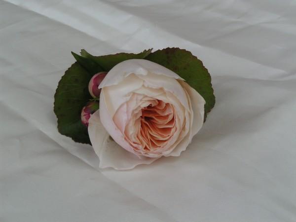 Anstecker, englische Rose